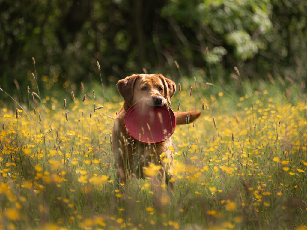 Dog in the Meadow, County Durham